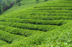 Boseong Tea Fields Stock Images