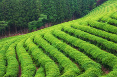Boseong Tea Fields Royalty Free Stock Photos