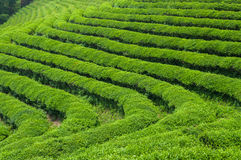 Boseong Tea Fields Stock Photos
