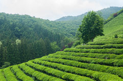 Boseong Tea Fields Royalty Free Stock Image