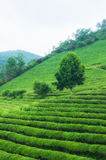 Boseong Tea Fields Stock Photo