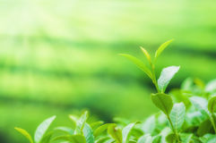 Boseong Tea Fields Stock Photography