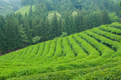 Boseong Tea Fields Royalty Free Stock Photo
