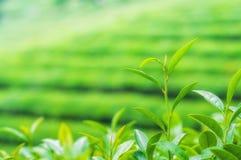 Boseong Tea Fields. The Boseong tea fields in South Korea Stock Photos