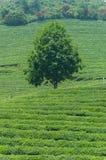 Boseong Tea Fields Stock Image