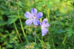 Bosgeranium blauwe bloem op groene achtergrond stock foto