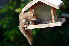 Boshaftes Eichhörnchen Stockbilder