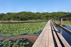 Bosherston百合池塘 库存图片