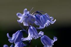 Boshyacint, общий Bluebell, non-scripta Hyacinthoides стоковое изображение