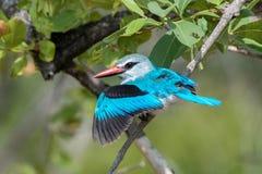 Bosijsvogel Royalty-vrije Stock Fotografie