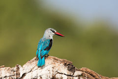 Bosijsvogel die aan zijn kant kijken royalty-vrije stock afbeelding