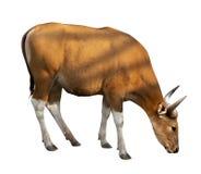 Bosjavanicushuvud Den röda oxen är en lös ko royaltyfria bilder