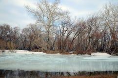 Bosje met de oudste overblijfselpopulieren op de banken van de rivier Stock Foto