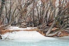 Bosje met de oudste overblijfselpopulieren op de banken van de rivier Stock Afbeelding