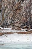 Bosje met de oudste overblijfselpopulieren op de banken van de rivier Royalty-vrije Stock Afbeelding