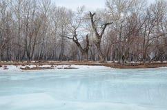 Bosje met de oudste overblijfselpopulieren op de banken van de rivier Stock Fotografie