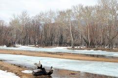 Bosje met de oudste overblijfselpopulieren op de banken van de rivier Royalty-vrije Stock Foto's
