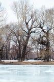 Bosje met de oudste overblijfselpopulieren op de banken van de rivier Stock Foto's