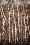 Bosje van berkbomen in de vroege lente Royalty-vrije Stock Foto's