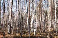 Bosje van berkbomen en droog gras in de vroege herfst stock fotografie