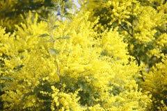 Bosje van bloeiende mimosainstallatie Royalty-vrije Stock Fotografie