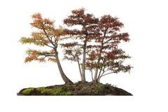 Bosje van geïsoleerd de herfstbomen, Stock Fotografie