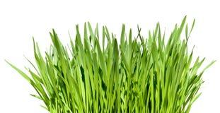 Bosje van gras Stock Foto