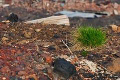 Bosje van gras op de rotsen Stock Afbeeldingen