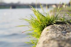 Bosje van gras op dijk Stock Foto's