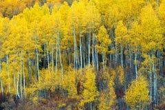Bosje van het Seizoen van Aspen Trees in de herfst Royalty-vrije Stock Afbeeldingen