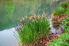 Bosje van kruid het groeien op de kust van de vijver Royalty-vrije Stock Fotografie