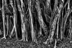 Bosje van mangrovebomen stock foto