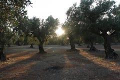 Bosje van olijfbomen in Salento in Puglia in Itali? royalty-vrije stock afbeelding