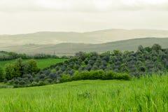 Bosje van olijfbomen in Toscanië Stock Foto's