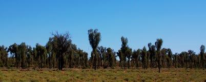 Bosje van Woestijneiken Stock Afbeeldingen