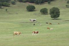 Boskap i grässlätt arkivfoton