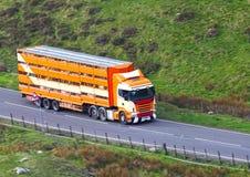 Boskap i lastbilsläp transporterar Arkivbild