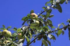 Boskop apple, in large quantity, hanging from tree, just before harvesting stock image