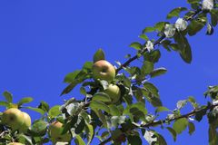 Boskop apple, in large quantity, hanging from tree, just before harvesting royalty free stock image