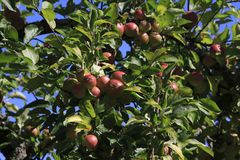 Boskop apple, in large quantity, hanging from tree, just before harvesting royalty free stock photo