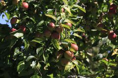 Boskop apple, in large quantity, hanging from tree, just before harvesting stock photos