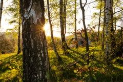 Boslandschap - bosbomen met gras op het voorgrond en zonsonderganglicht die door de bosbomen glanzen stock afbeeldingen