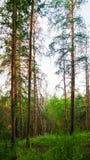 Boslandschap met bomen die bij de berghellingen onder zonsonderganglicht groeien stock afbeeldingen