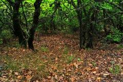 Boslandschap met oude bomen stock afbeelding