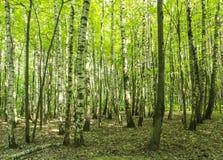 Boslandschap op een zonnige dag van de de lentezomer met bomen van de gras de levende berk en groene bladeren bij takken bij park stock foto