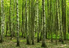 Boslandschap op een zonnige dag van de de lentezomer met gras levende bomen en groene bladeren bij takken bij een park botanisch  stock afbeeldingen