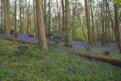 Boslandschaps blauwe klokken Royalty-vrije Stock Afbeelding