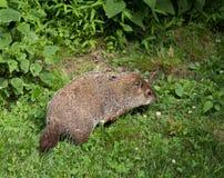 Bosmarmot die onkruid in de wildernis eten Stock Afbeeldingen