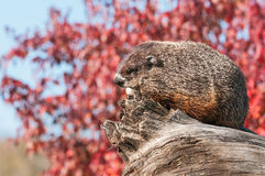 Bosmarmot (Marmota monax) Rust op Logboek Stock Foto's