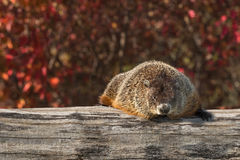 Bosmarmot (Marmota monax) Rust op Logboek Stock Fotografie